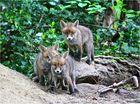 Fuchsnachwuchs