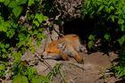 Fuchswelpe hält Siesta