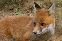 Fuchswelpe im Portrait