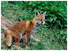 - Fuchswelpe Nr. 2 - ( Vulpes vulpes )