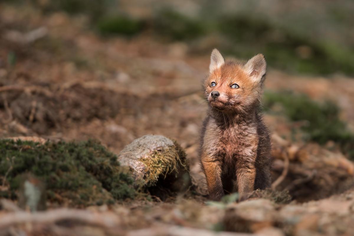 Fuchswelpen kommen wieder aus ihrem Bau