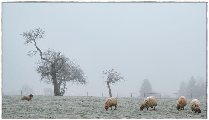 fünf Schafe in der Kälte