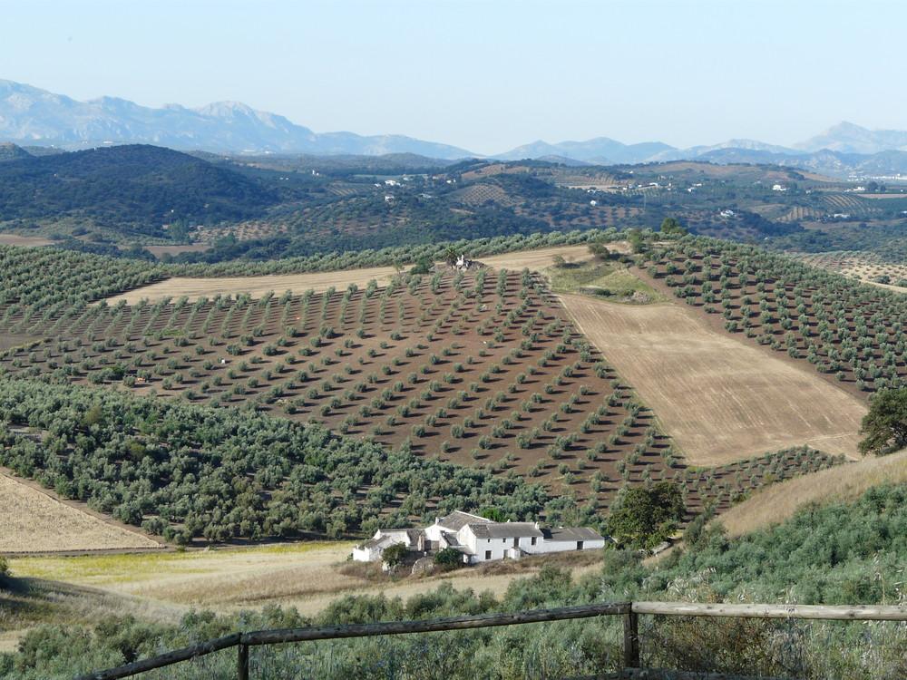 Fuente del Conde - Oliviers en Andalousie