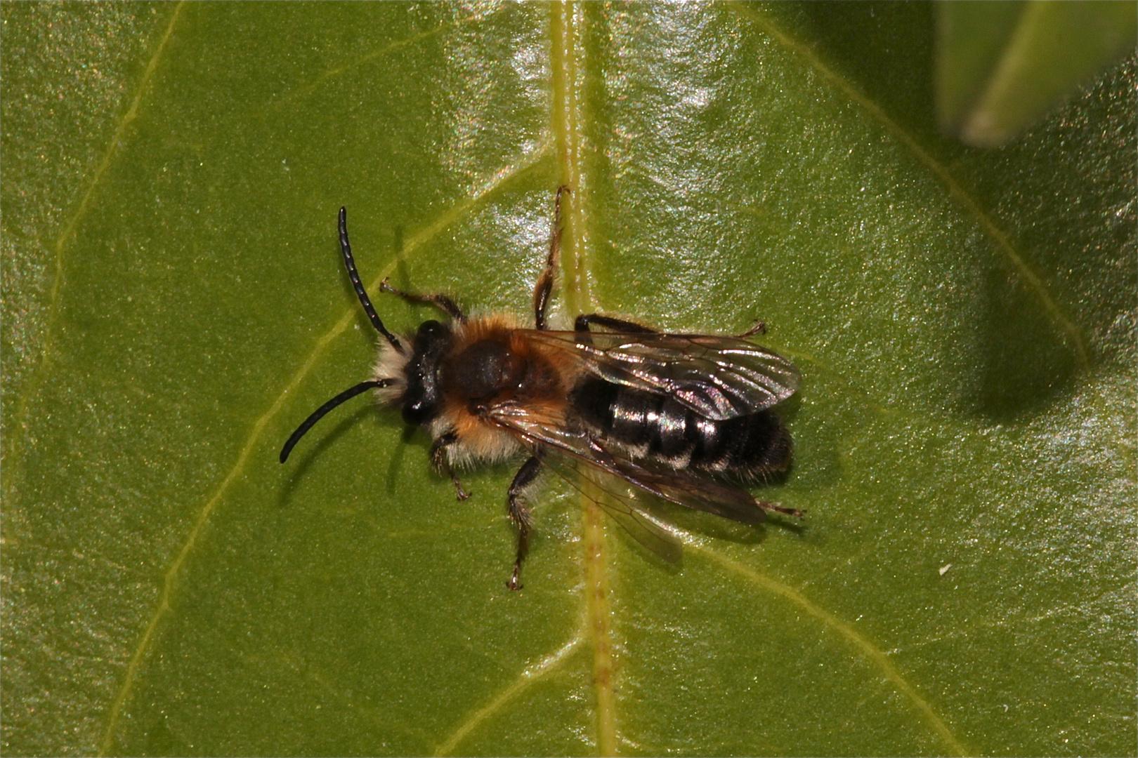 Für Dani(ela Boehm) - ihre Bienenfotos sind genial!
