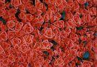 für Dich soll es 1000 Rosen......