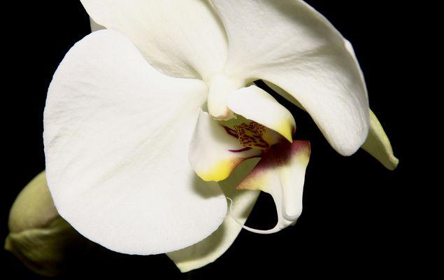 für die Dahmen eine Orchidee
