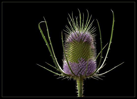Für eine kurze Zeit geben die vielen kleinen Blüten der Wilden Karde ein anderes Gesicht