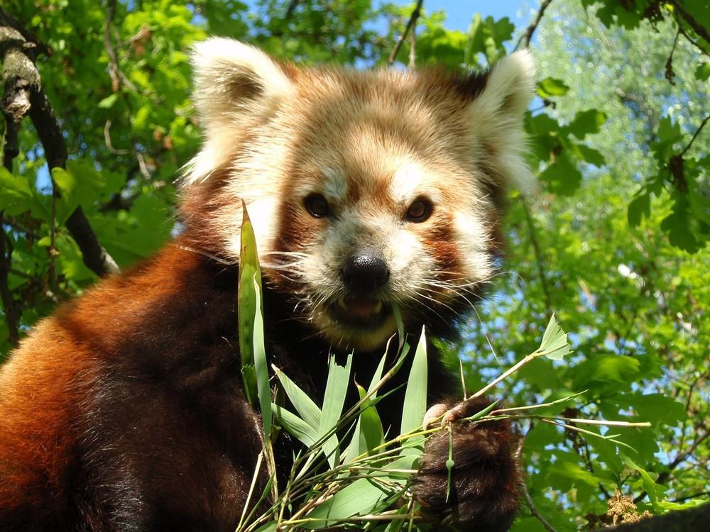 Für frischen Bambus lächle ich in jede Kamera!