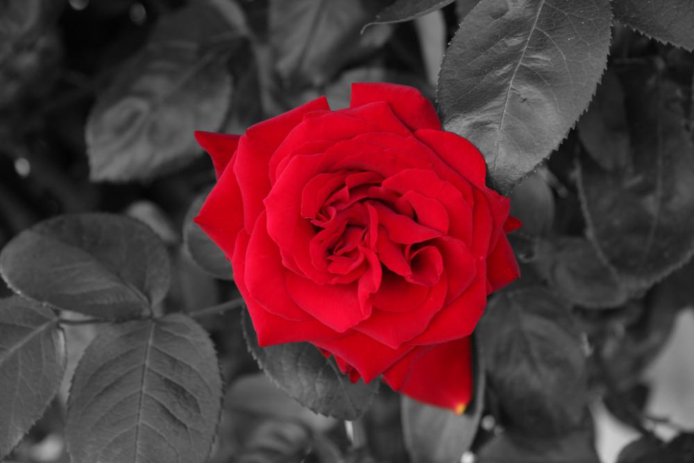f r mich solls rote rosen regnen foto bild pflanzen. Black Bedroom Furniture Sets. Home Design Ideas