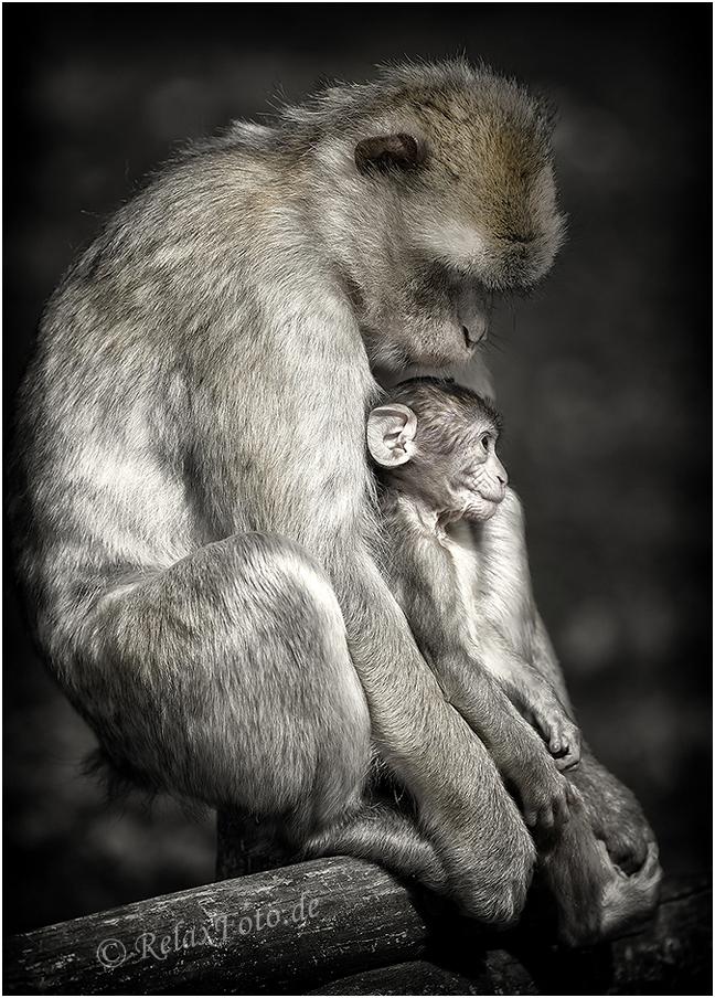 """""""Fürsorge"""" - Berberäffin mit Baby"""