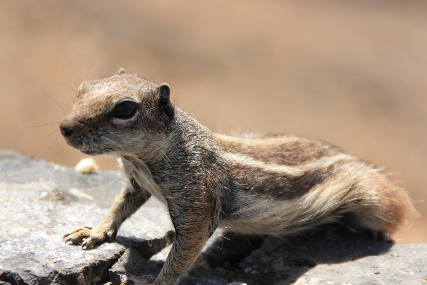 Fuerteventura: Amigable ardilla