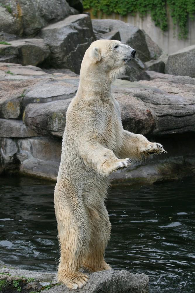 Fütterung bei den Berliner Eisbären
