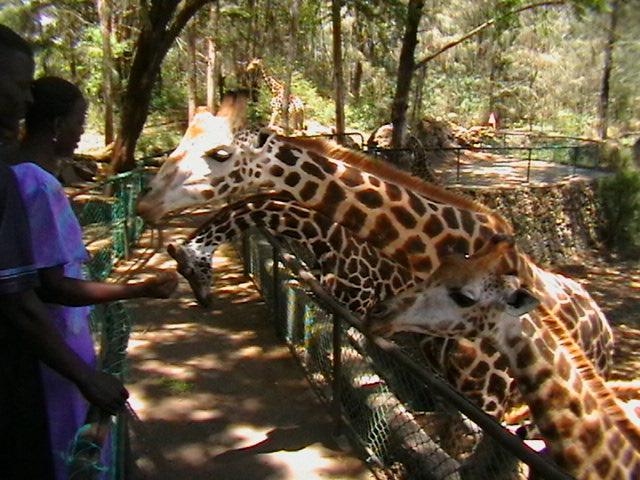 Fütterung der Giraffen in Kenya