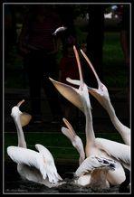 Fütterung der Pelikane