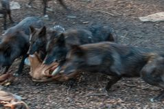 Fütterung im Wolfsgehege