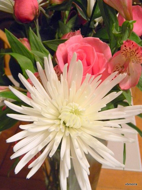 Fuji Chrysanthemum