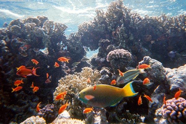 Fuji Quicksnap MARINA: Scarus sp. (eine Papageienfisch-Art), FOTO 1