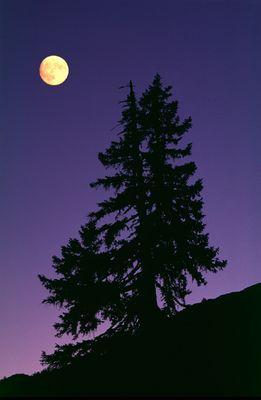 Full Moon Spruce (Schrattenfluh, Entlebuch, Switzerland)