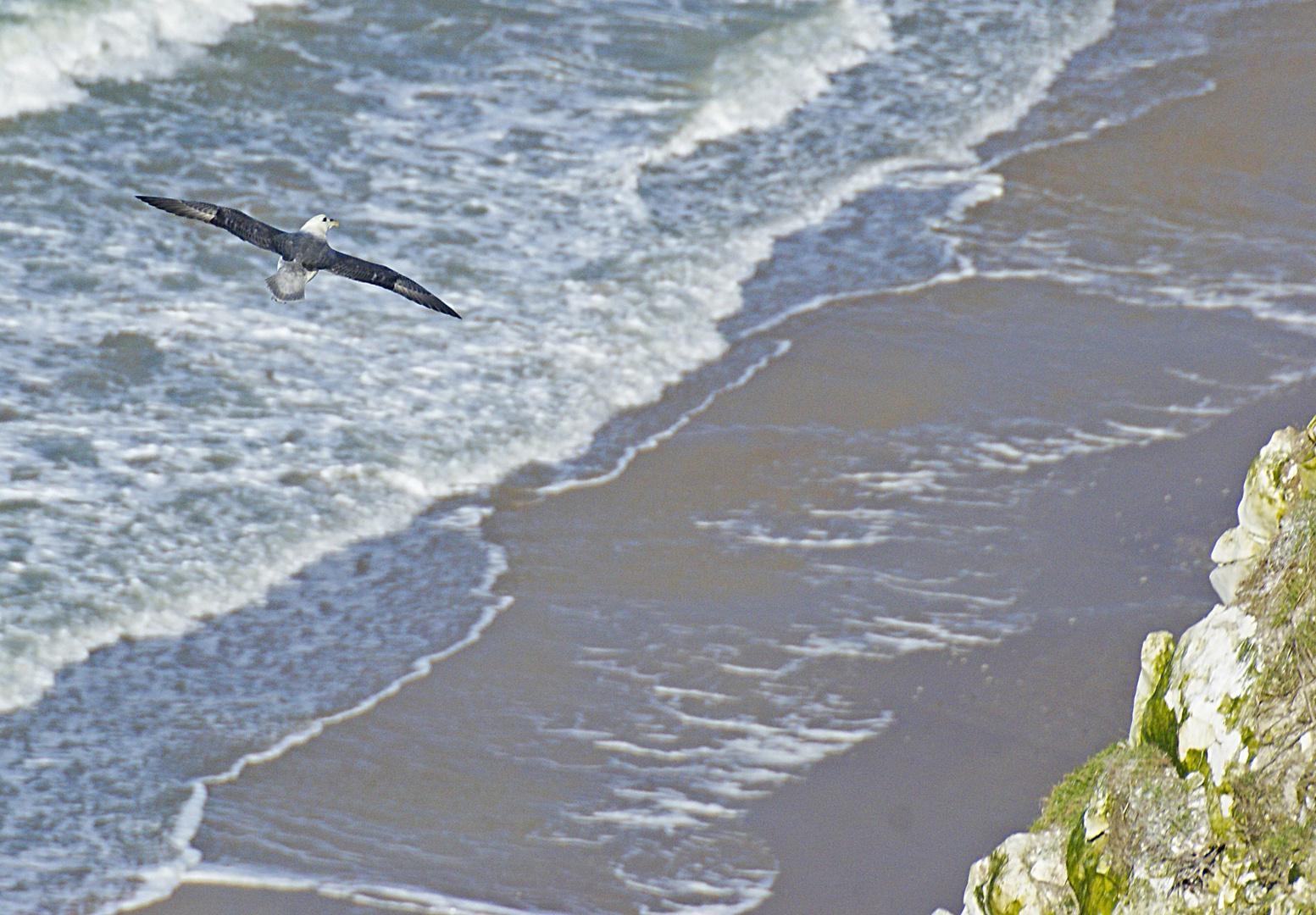 fulmar boréal vu du haut du Cap Blanc Nez, Pas de Calais