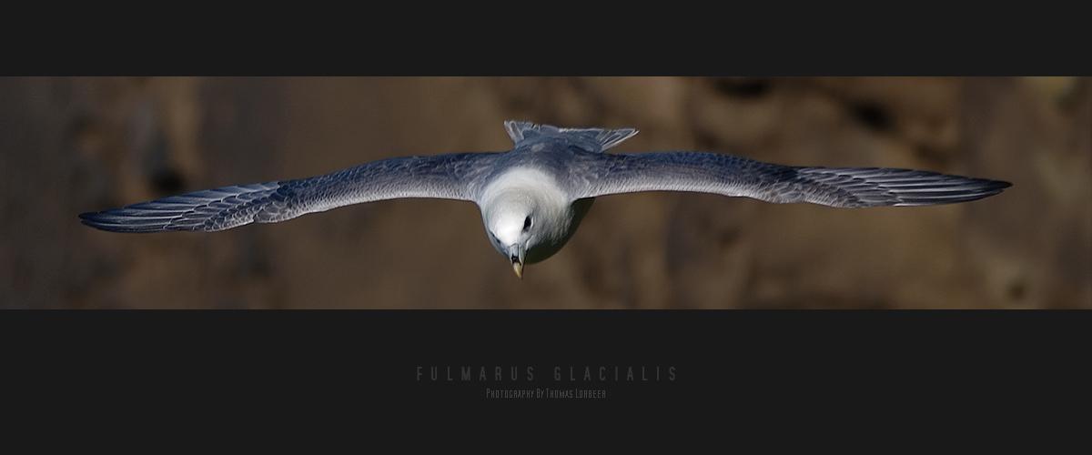 Fulmarus glacialis [3]