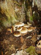 Funghi di pioppo