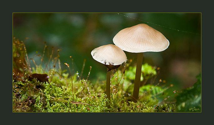 Fungi Twins: Marasmius Wynnei