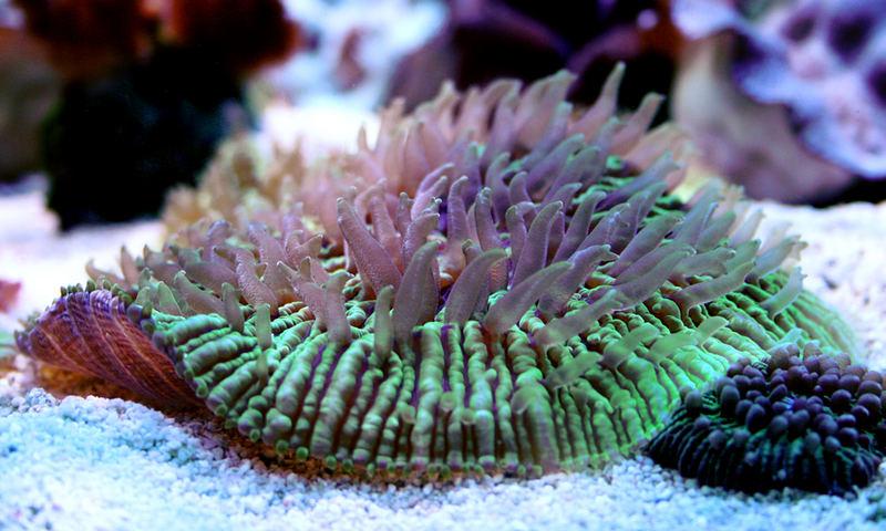 Fungia Koralle