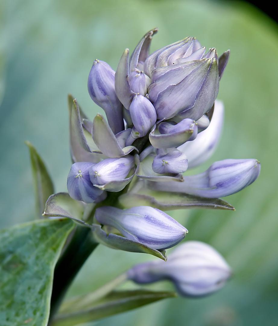 Funkien - Blüte