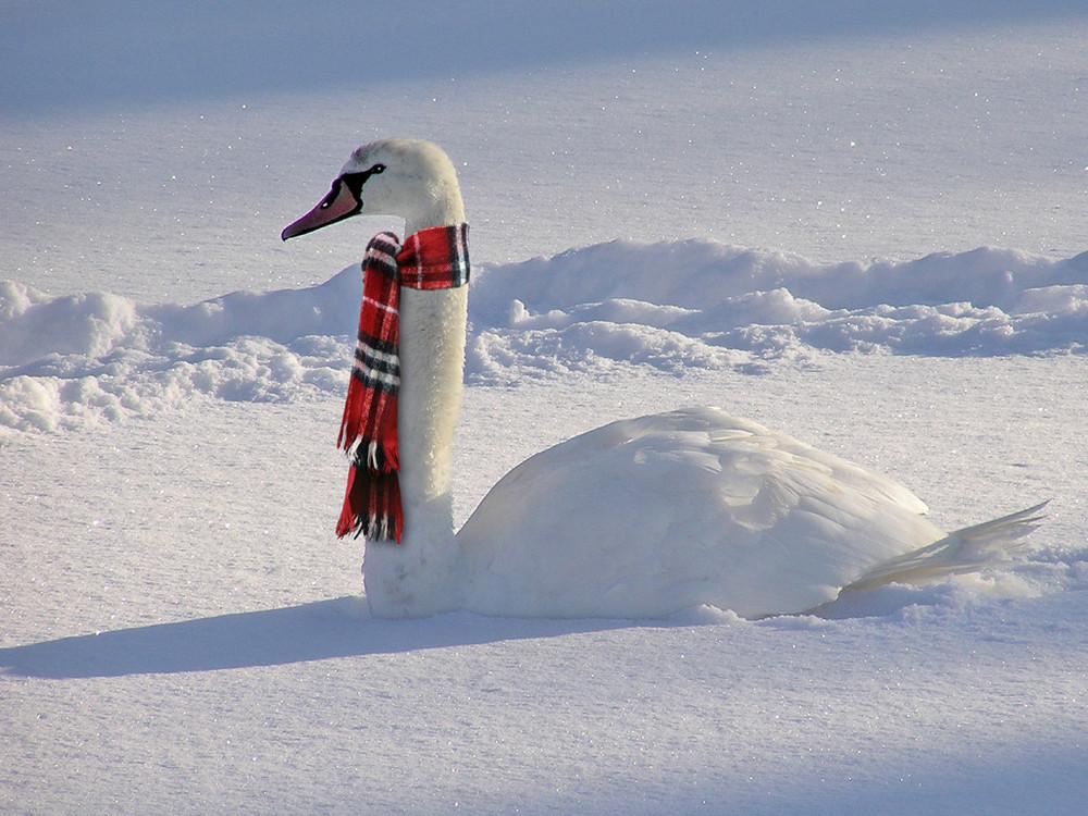 Funny Swan