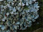 Furchen-Schüsselflechte (Parmelia sulcata)