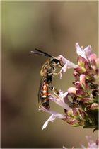 Furchenbiene Lasioglossum calceatum - Männchen
