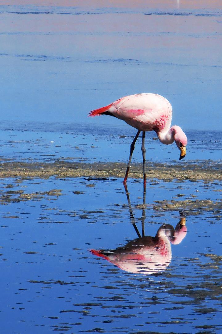 Futter suchender Flamingo
