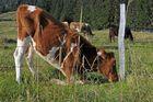 Futter um jeden Preis - oder einfach blöde Kuh, hihi