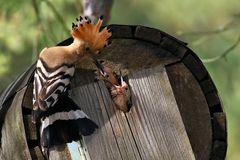 Futterneid bei den jungen Wiedehopfen - Upupa epops