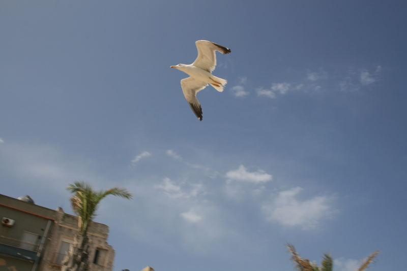 Gabbiano ... in volo