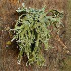 Gabel- oder Kleienflechte (Pseudevernia furfuracea)