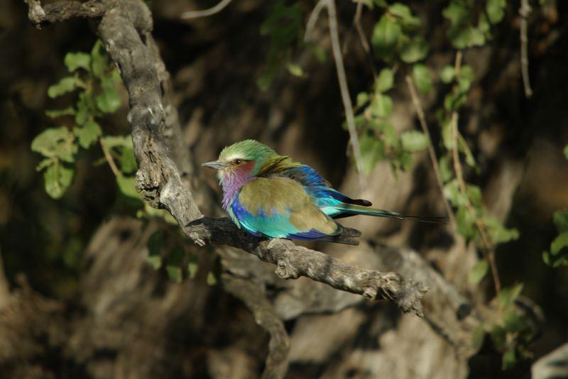 Gabelracke, Khwai River Botswana, im richtigen Licht zeigt er seine ganze Farbenpracht