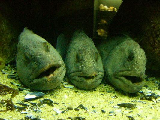 Gähnende Langeweile unter Wasser