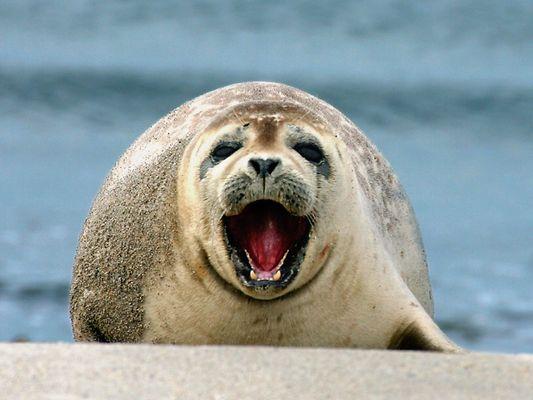 Gähnende Robbe