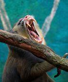 Gähnender Affe