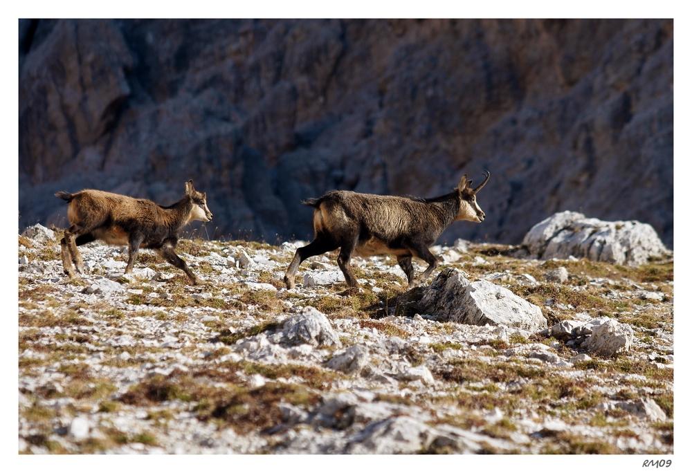 Gämse in den Dolomiten