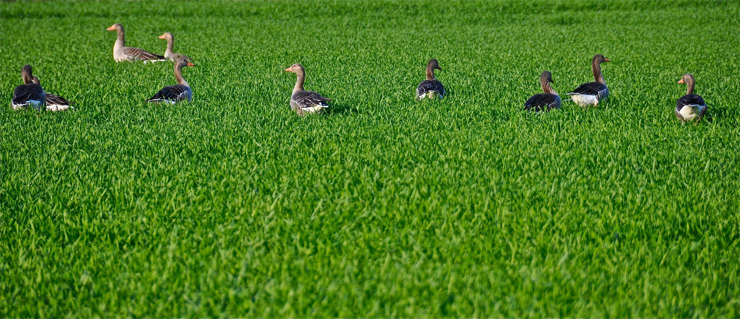 Gänse im Gras am Steinhorster Becken