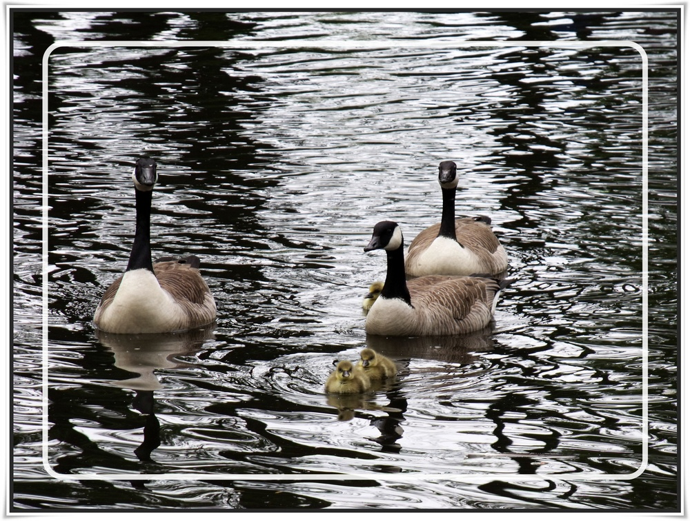 Gänse Muttertag