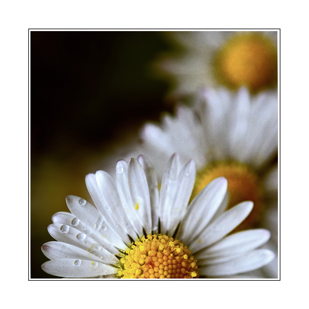 Gänseblümchen 08