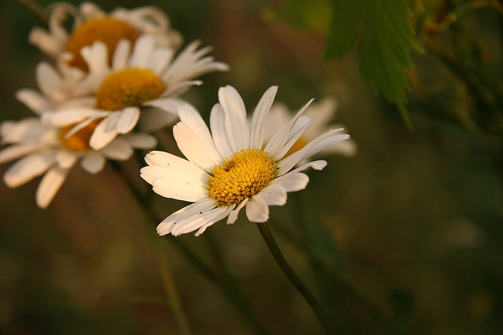Gänseblümchen aus Ukraine