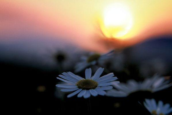 Gänseblümchen bei Sonnenuntergang