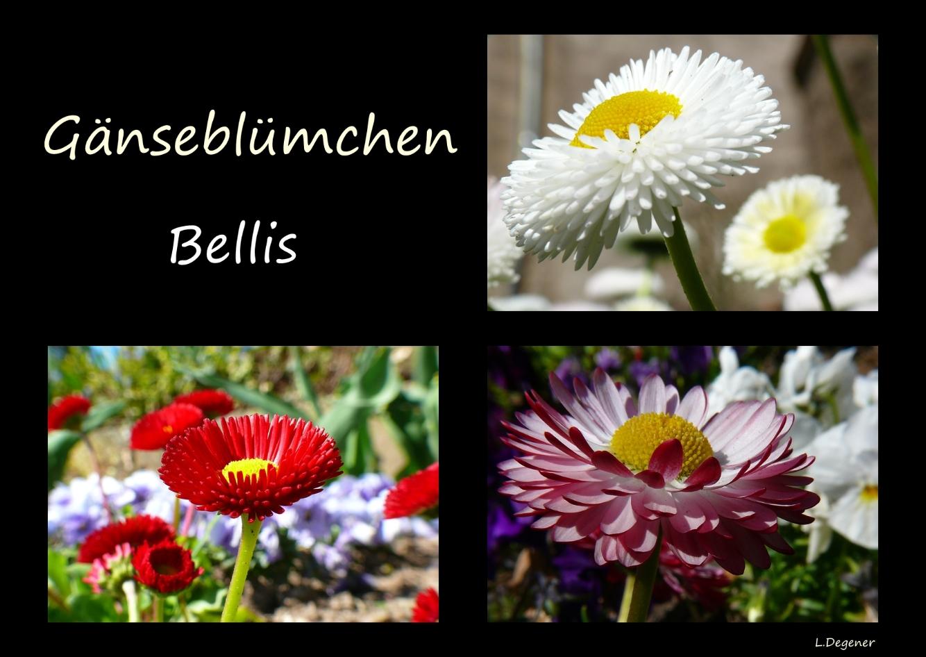 Gänseblümchen (Bellis)