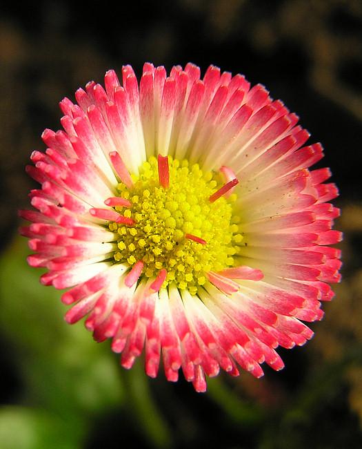 Gänseblümchen-Charme