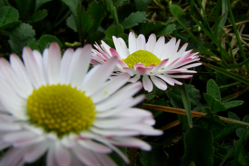Gänseblümchen