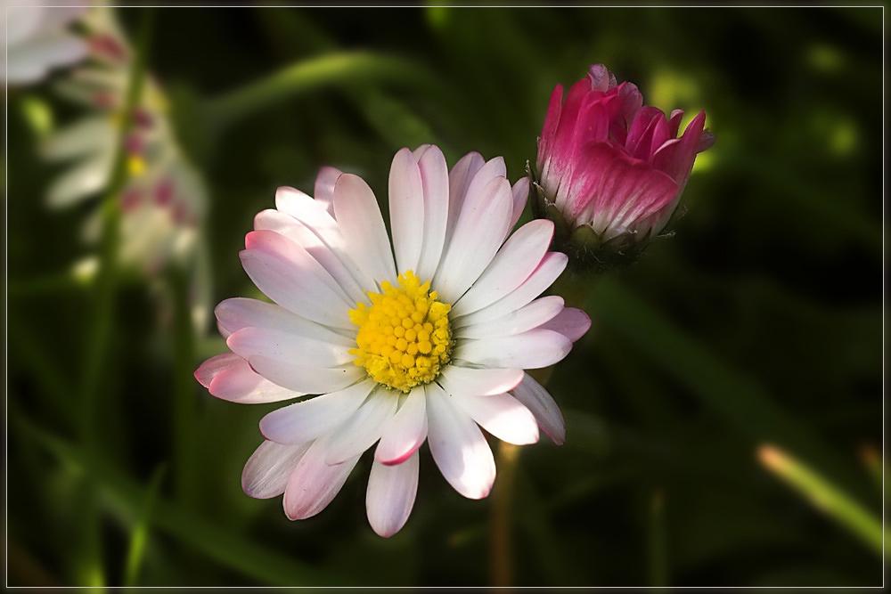 Gänseblümchen III